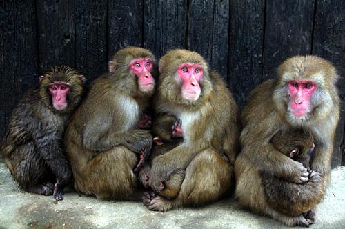 母猿.jpg