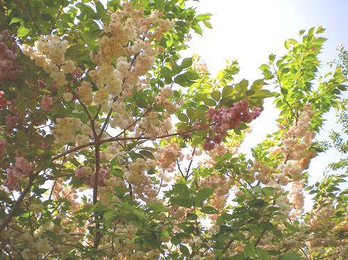 s-ぜんべい桜0698.jpg
