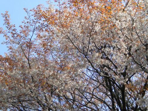 s-山桜DSCN0523.jpg