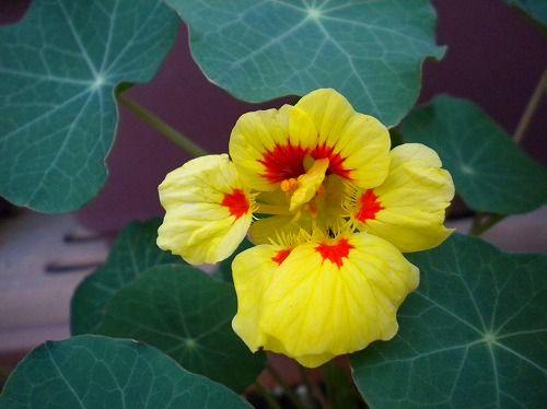 s-ナスタチウム花.jpg